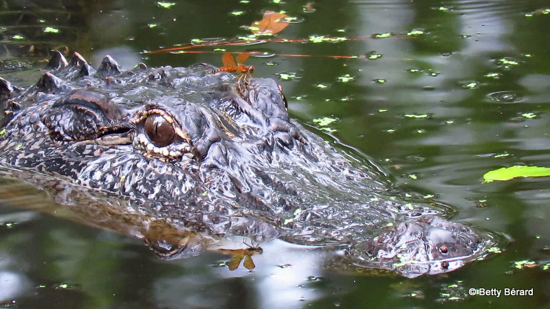 Alligator with a Dragonfly Sitting on his Eye