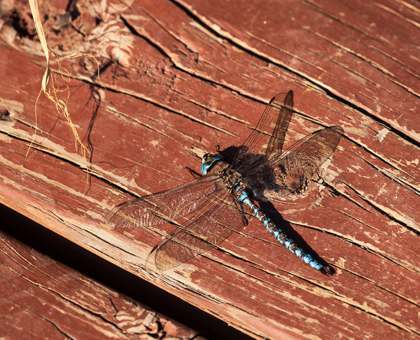 Resting Blue Dragonfly