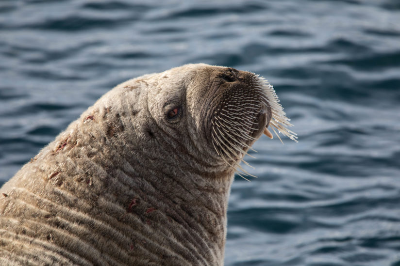 Walrus Side Eye