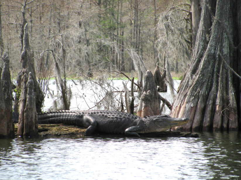 Alligator Knees & Cypress Knees