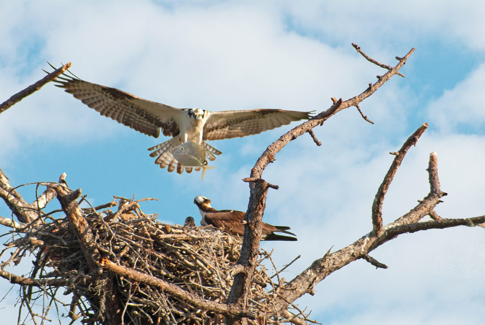 Osprey with Moonfish