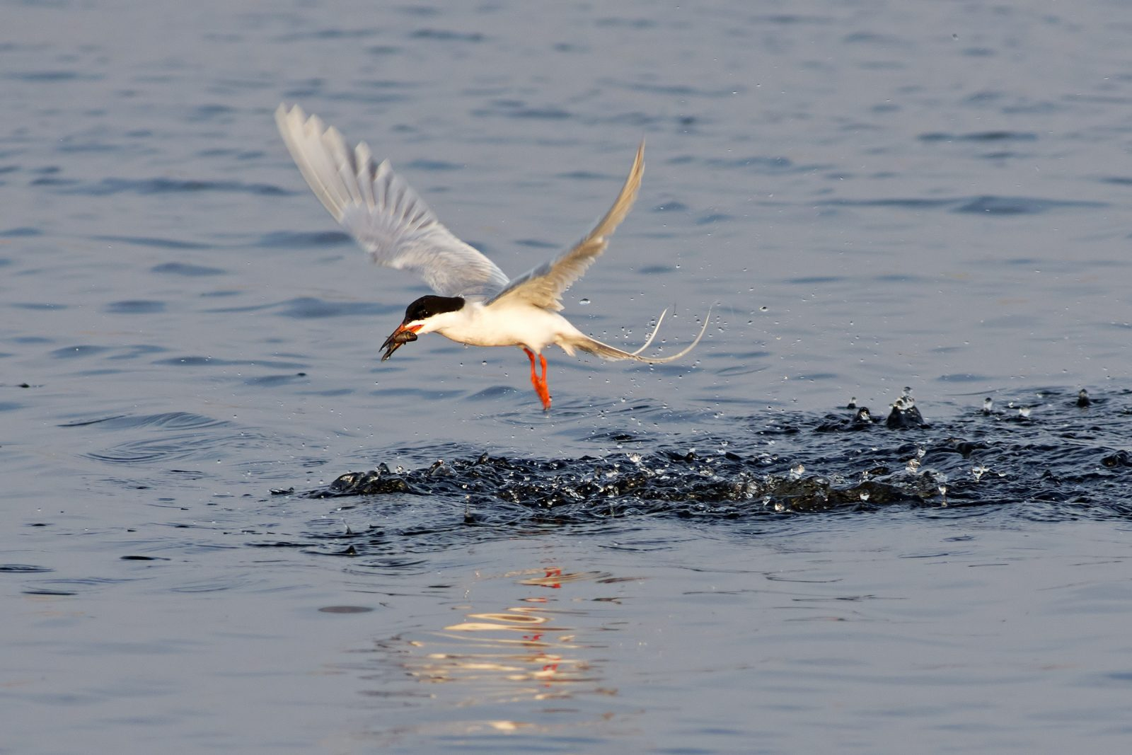 Forster's Tern with Catch