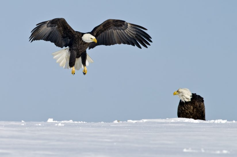 Bald Eagles in Snow