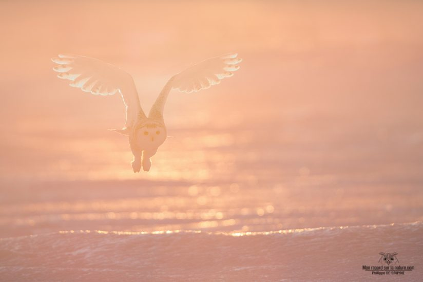 snowy owl in the morning