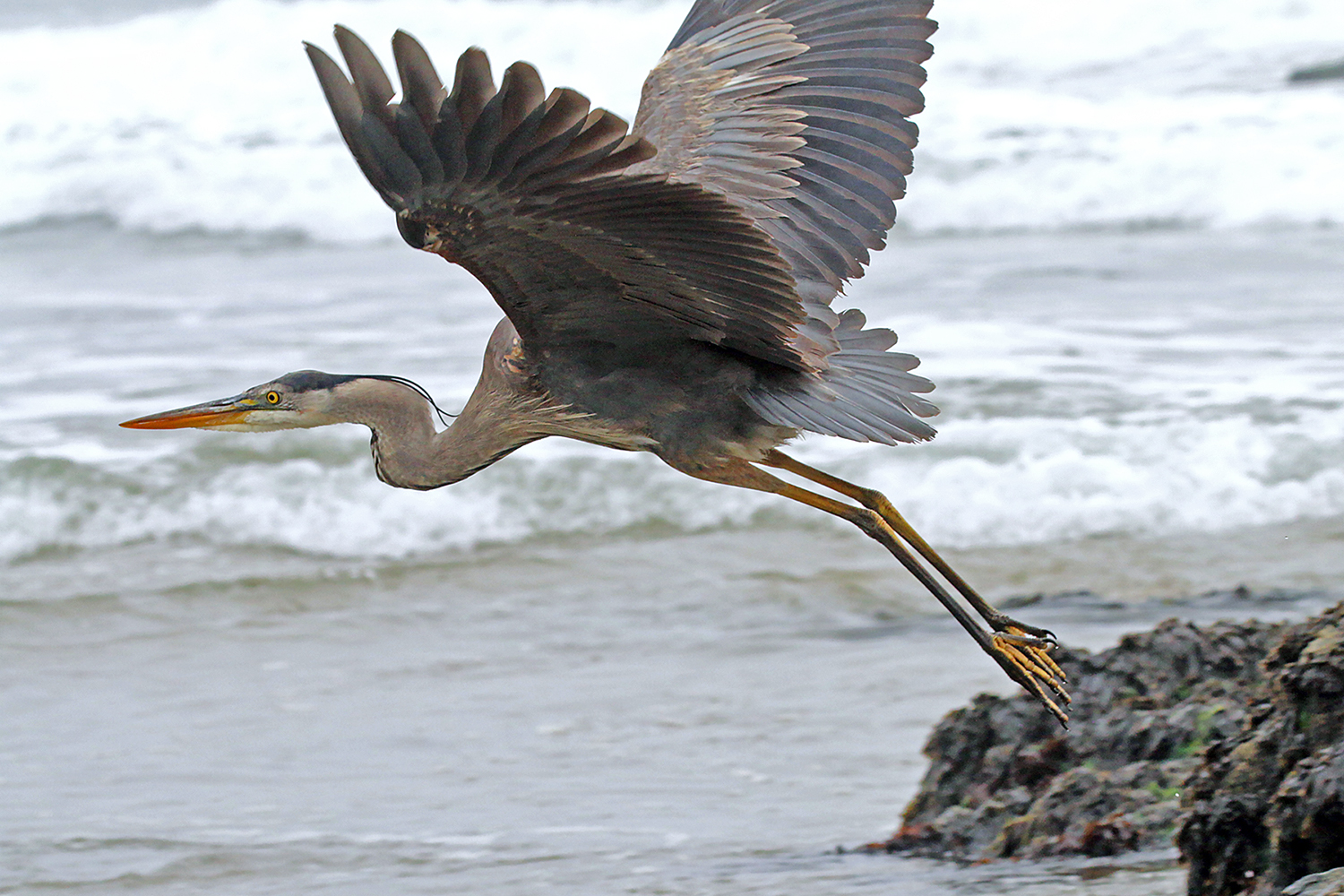 Great Blue Heron Lifts off
