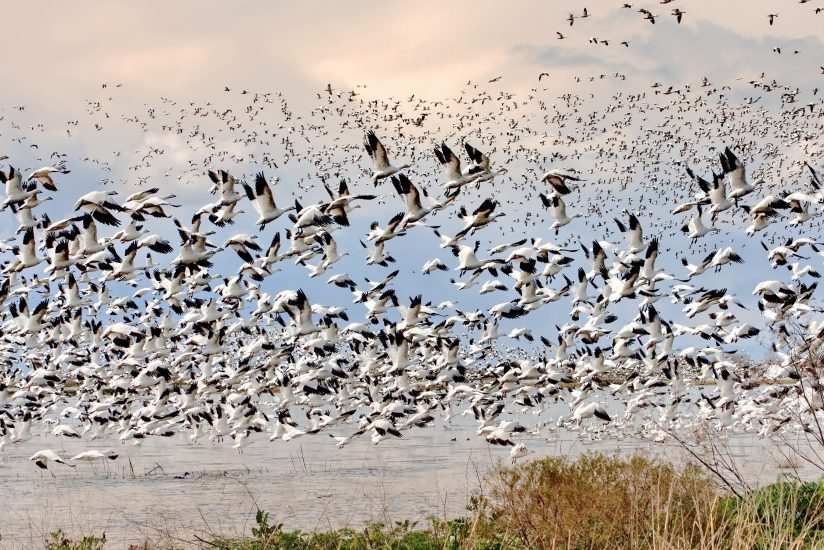 White Geese Fly Off