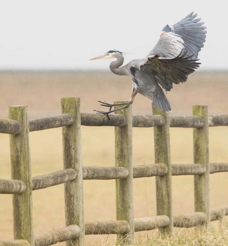 Who knew Great Blue Herons sat on fences?