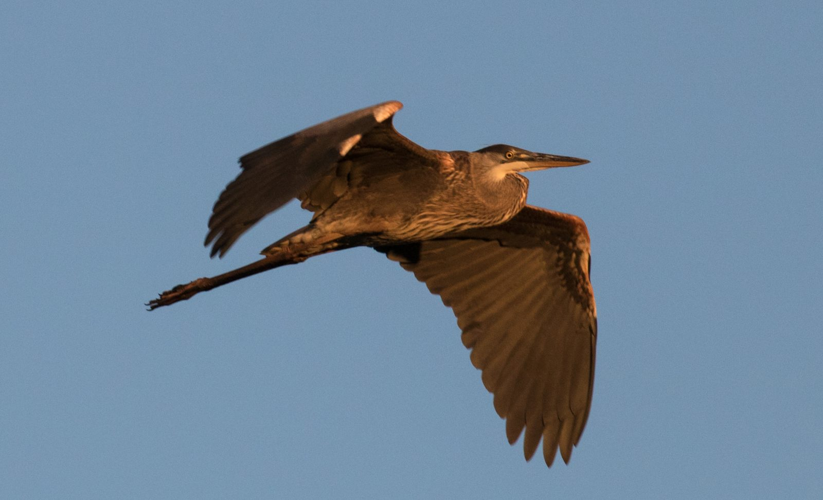 Great Blue Heron Flight at Sunset
