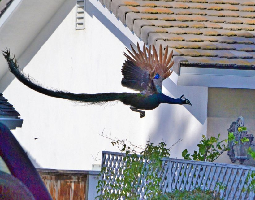 P.V. Peacock in Flight