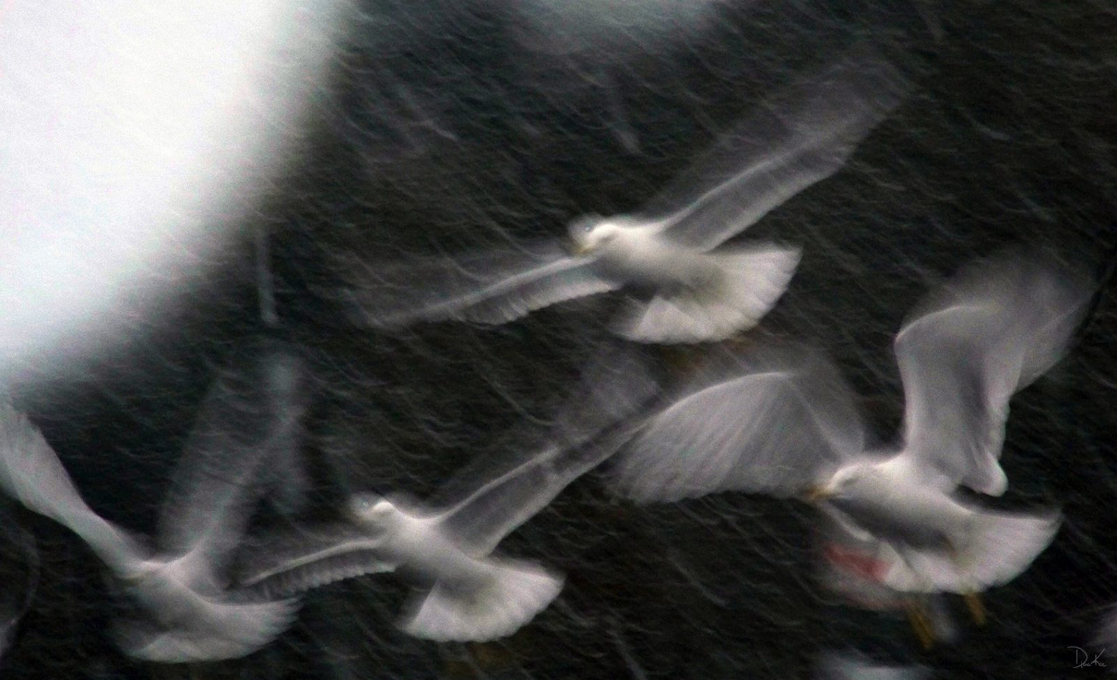 Gulls And The Snowstorm
