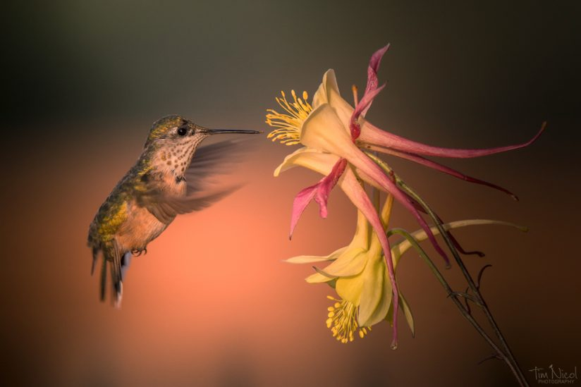 Hummingbird & Columbine