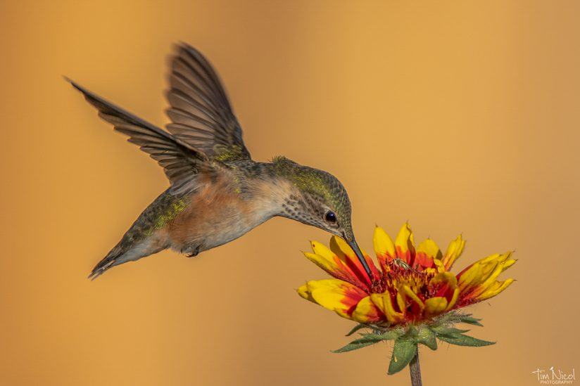 Hummingbird and Blanket Flower