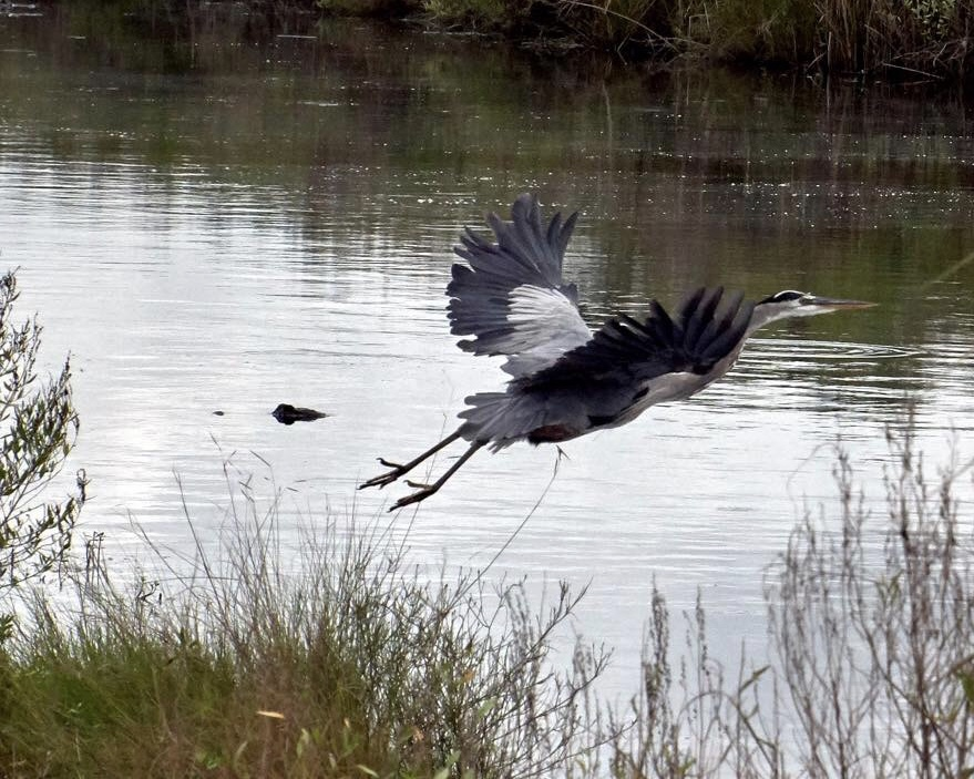Heron avoiding an alligator