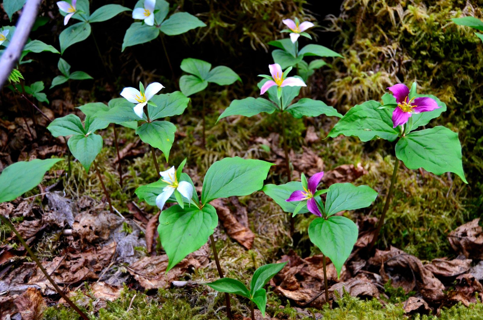 Trilliums on Moist Forest Floor