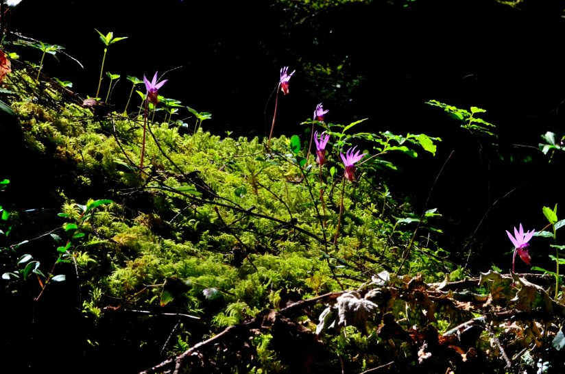 Raft of Calypso bulbosa orchids