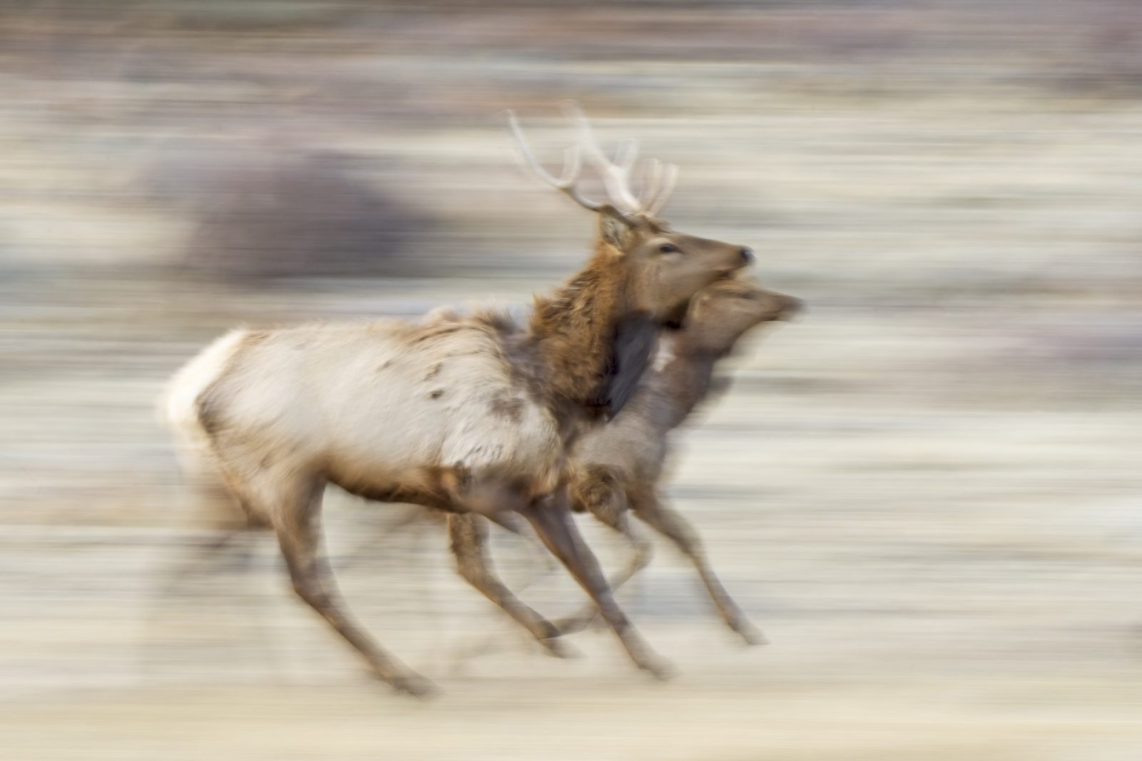 Elk Pair on the Run
