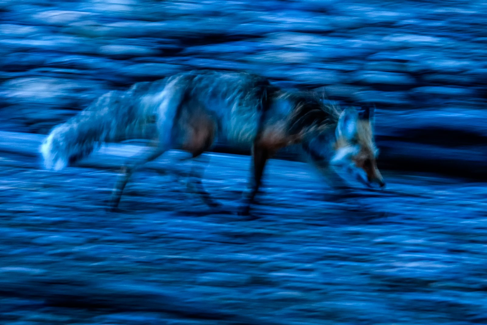 Blue Hour Fox