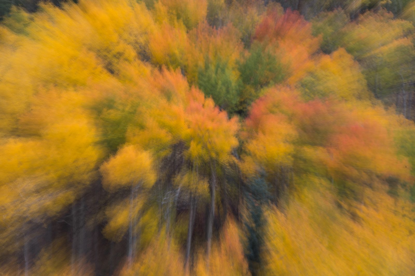 Aspens In Motion
