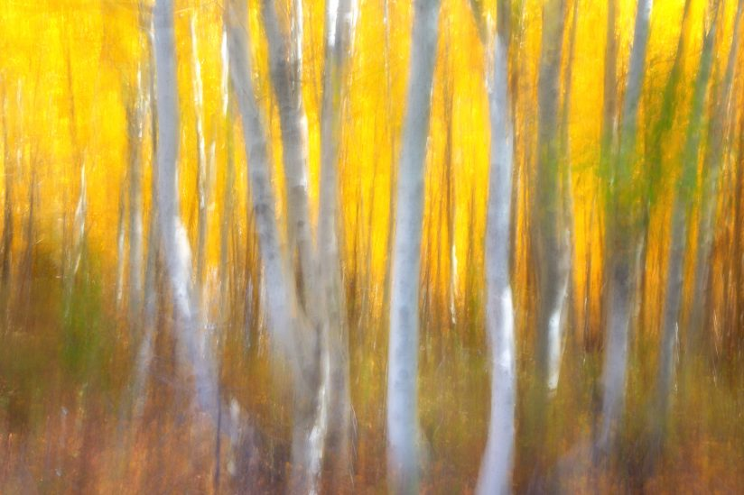 California Aspens