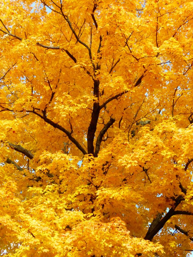 Majestic Yellow Tree