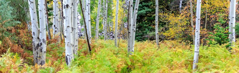 Aspen and Ferns