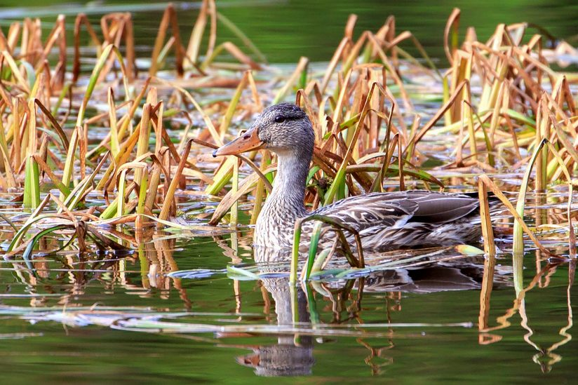 Waiting In The Reeds