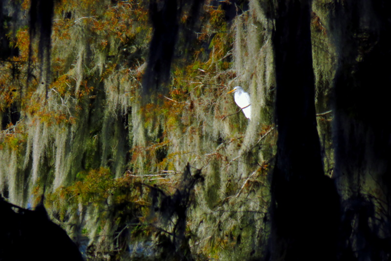 Great White Egret Framed by Spanish Moss