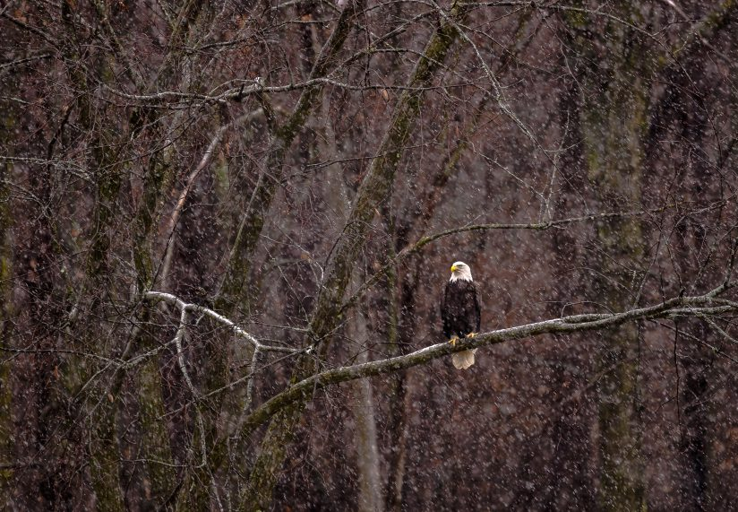 Bald eagle in the elements of fall