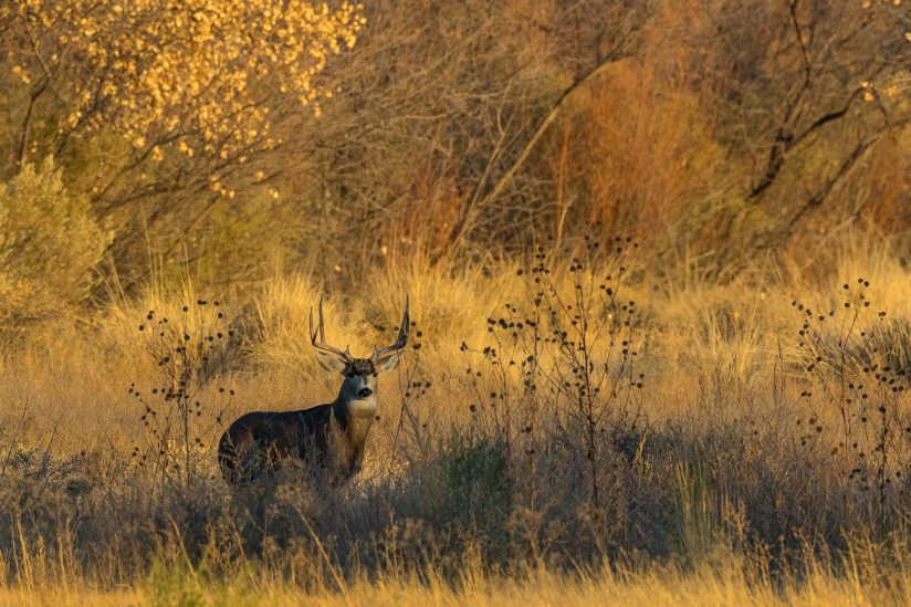 Bosque Mule Deer