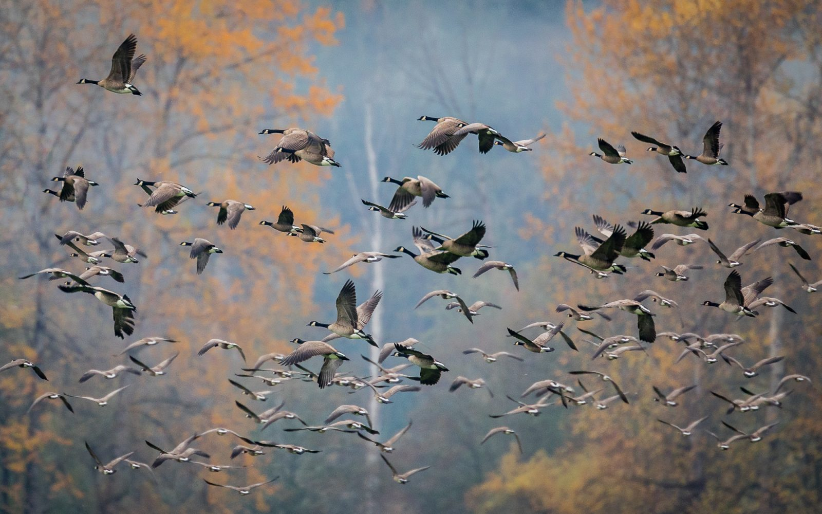 Flight of the Cackling Geese