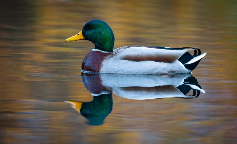 Mallard with Reflections