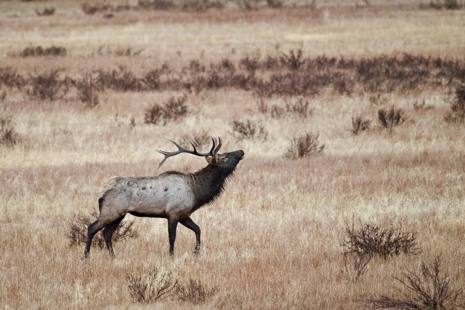 Elk Bugling During the Rut