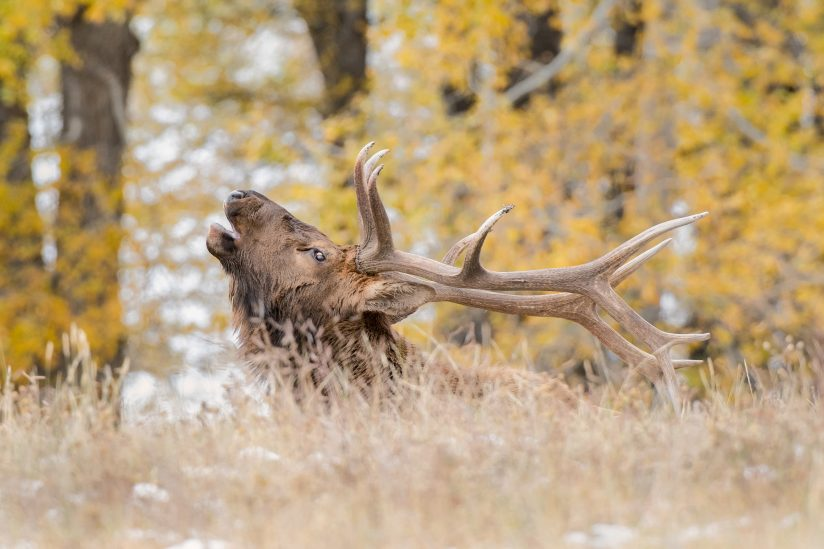 Rocky Mountain Bull Elk