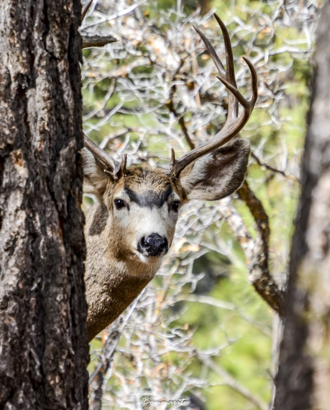 Buck through the trees.