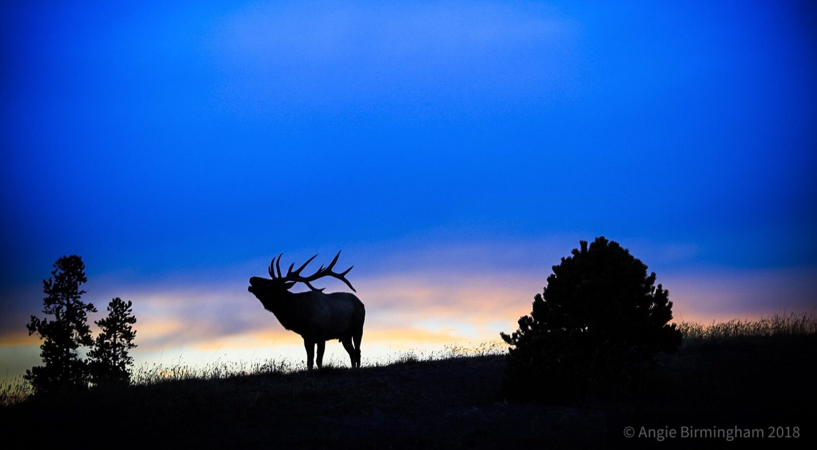 Fall sunset with a silhouette of a bugling Elk