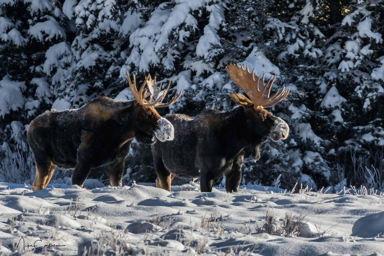 Bull Moose Snow Noses