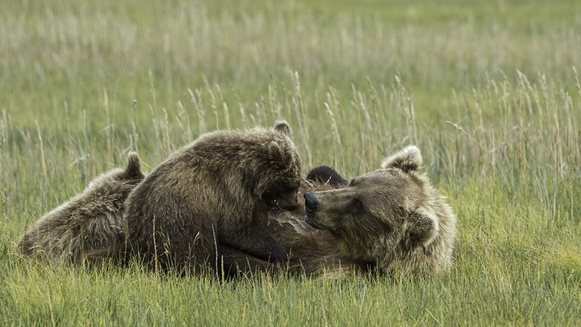 Brown Bear (Grizzly) nursing