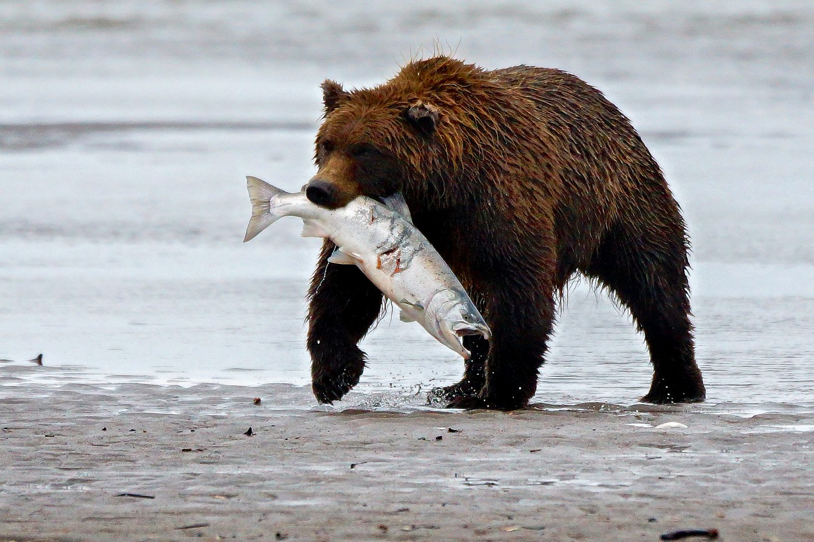 Brown Bear (Grizzly) with salmon