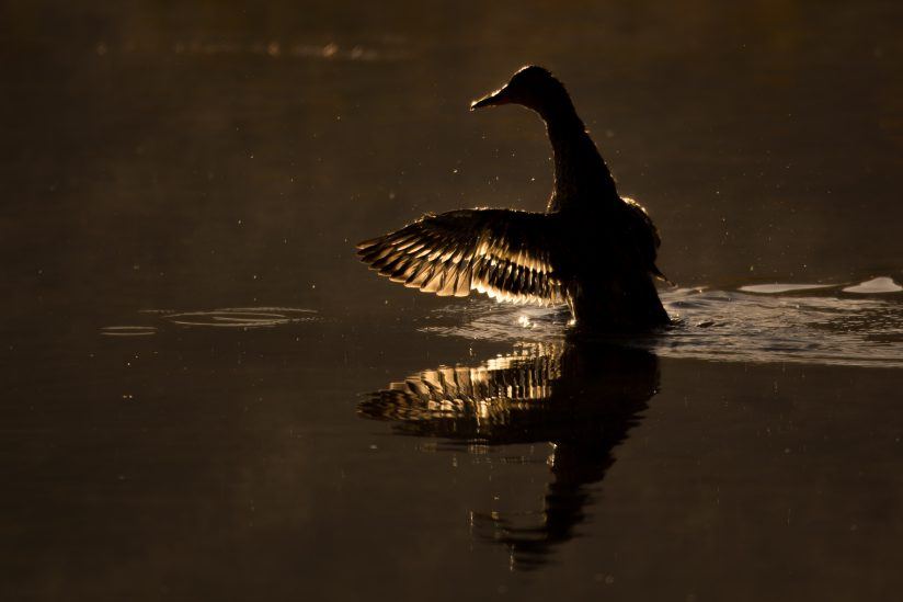 Light filtered through a mallards wing