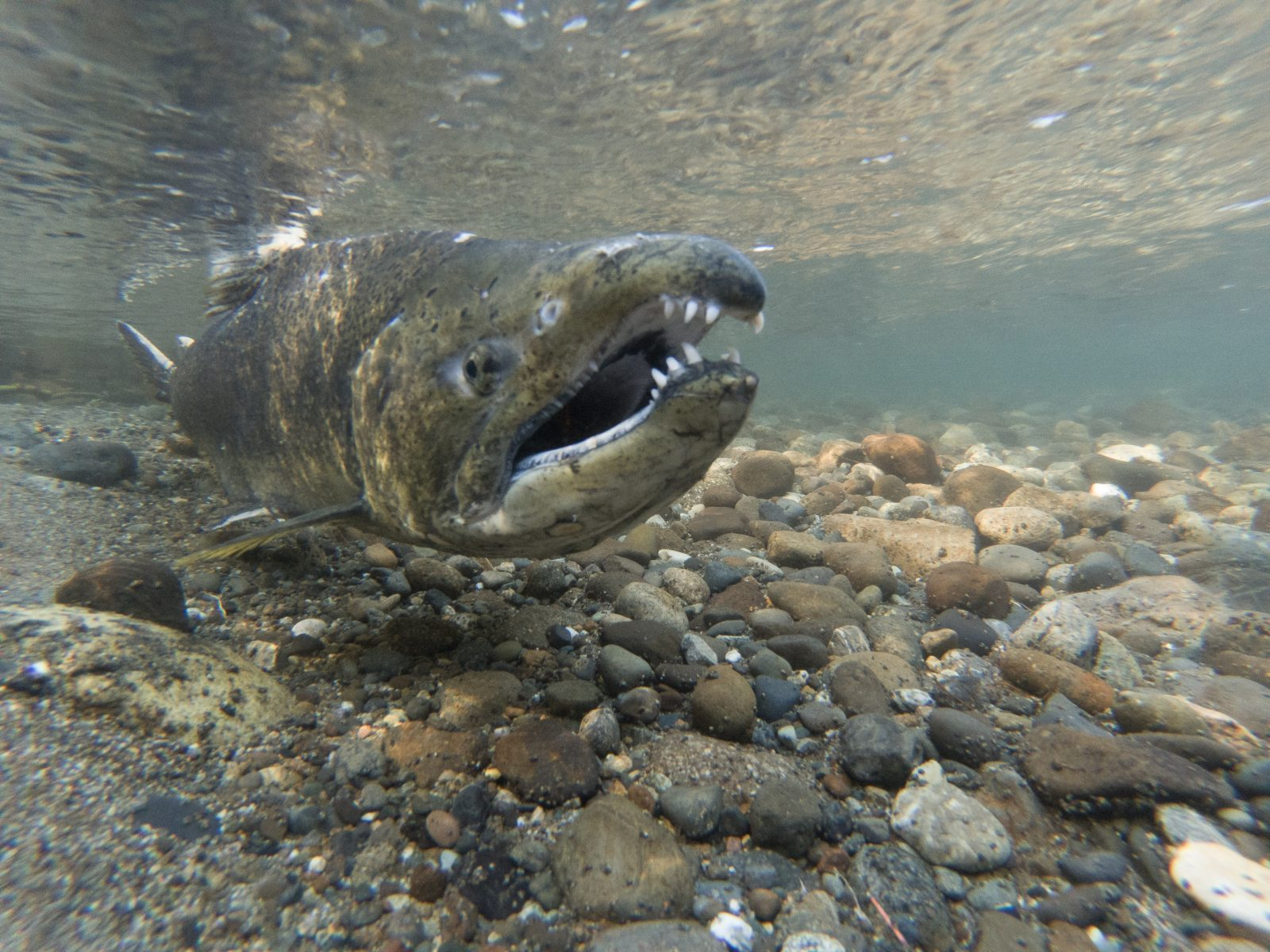 Spawning Chinook Salmon In The Cedar River