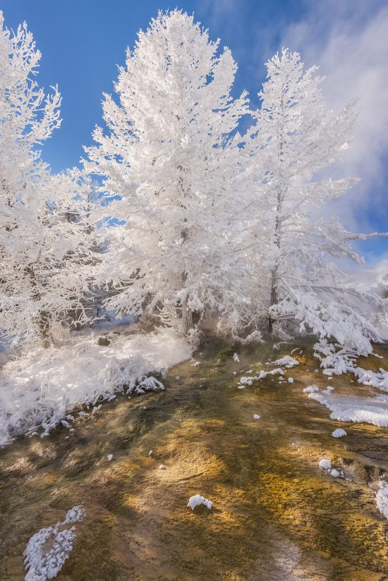 Canary Springs Tree in Frost
