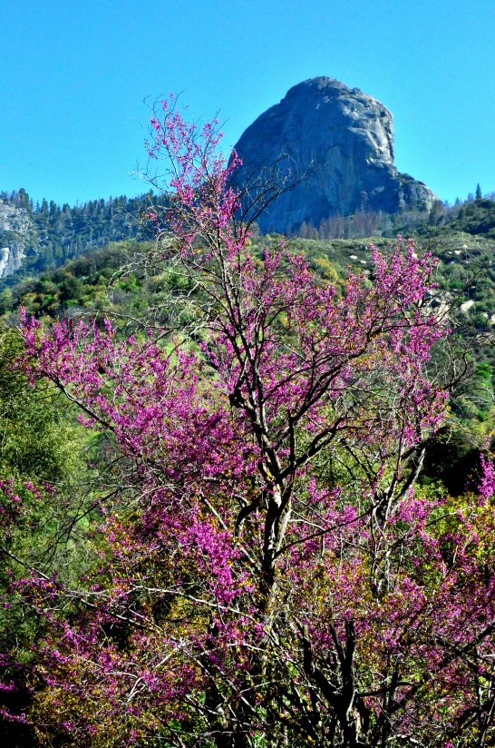 Sequoia – Western Redbuds In Bloom