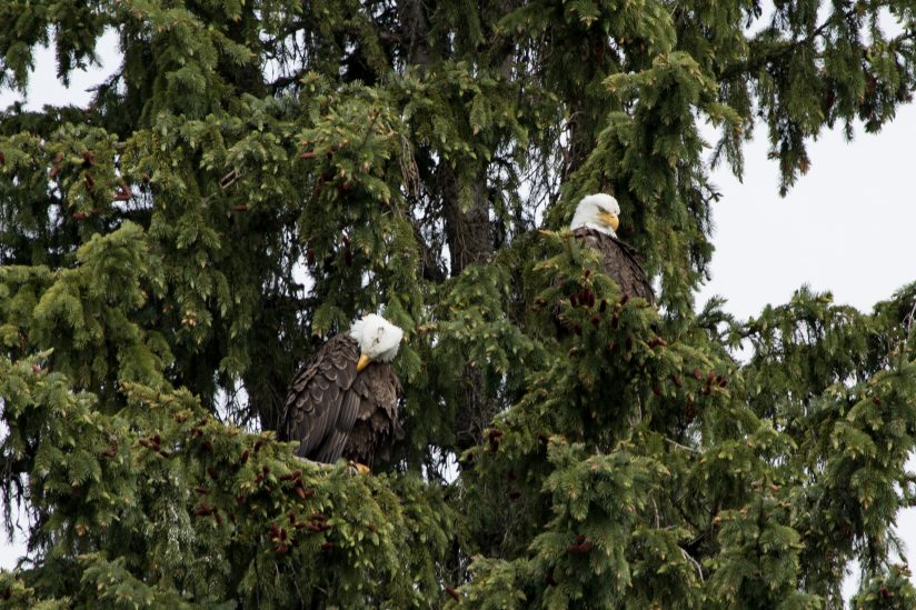 Bald Eagles at Trillium