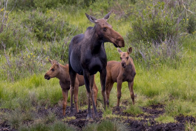 Mom and twins, Colorado moose