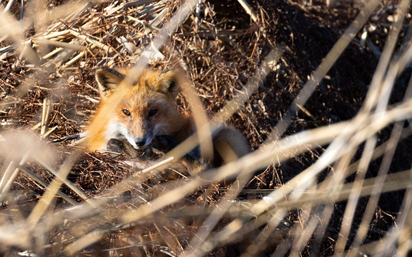 Red Fox Trying to Take a Nap