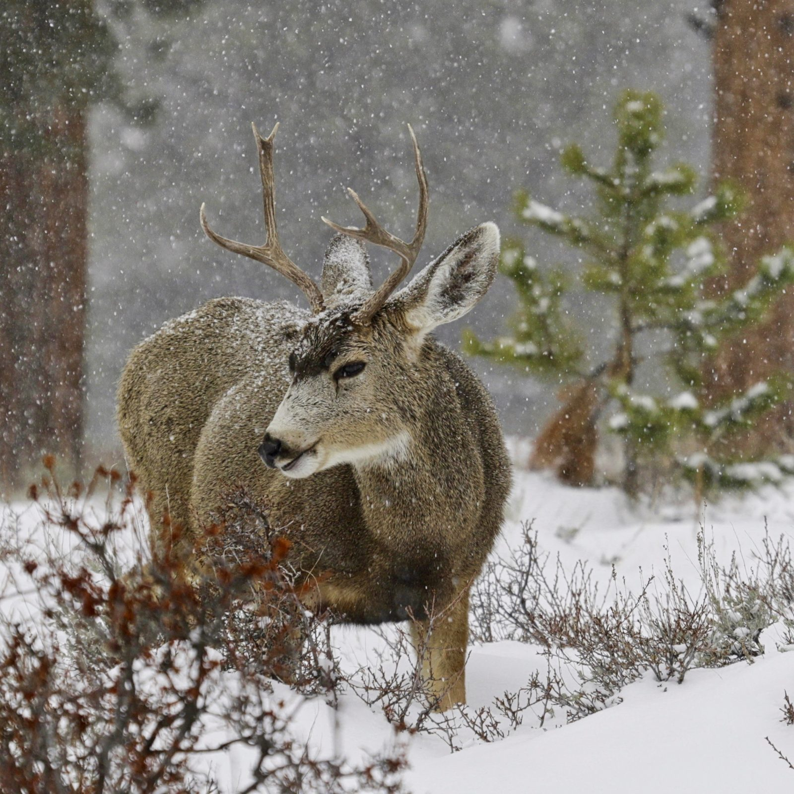 Young Buck, First Snow