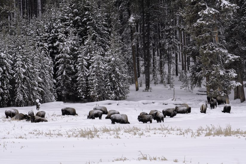 Bison Under Snow Covered Lodge Pole Pines, Yellowstone National Park