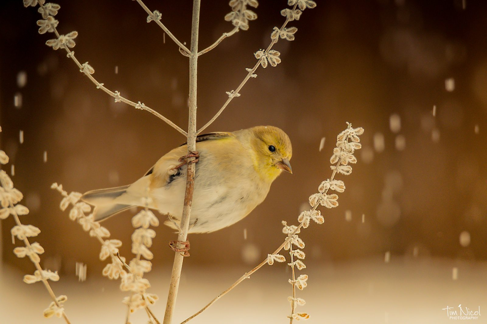 American Goldfinch in the Snow