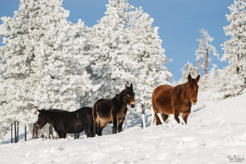 3 Mules in the Snow