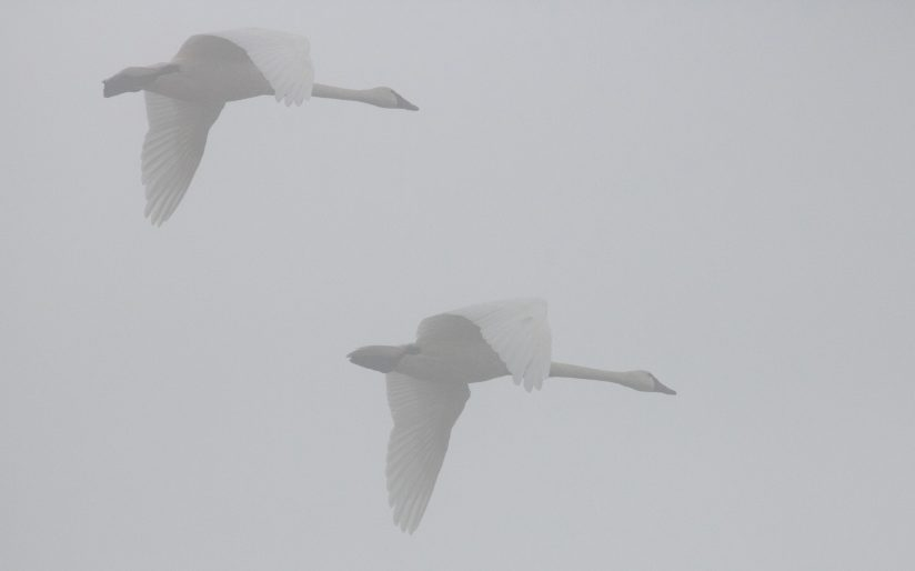 Swans in Flight on a Wintry Day